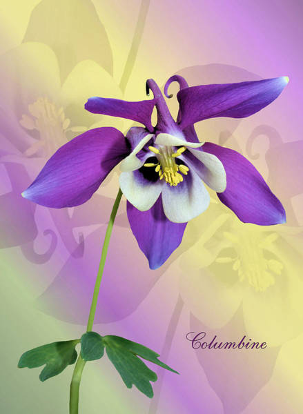 Photograph - Columbine by Kristin Elmquist