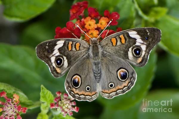 Buckeye Butterfly Wall Art - Photograph - Common Buckeye Butterfly by Betty LaRue