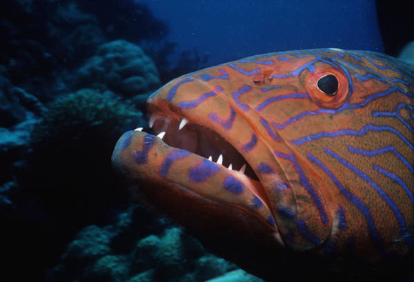 Horizontal Stripes Photograph - Coral Grouper by Jeff Rotman