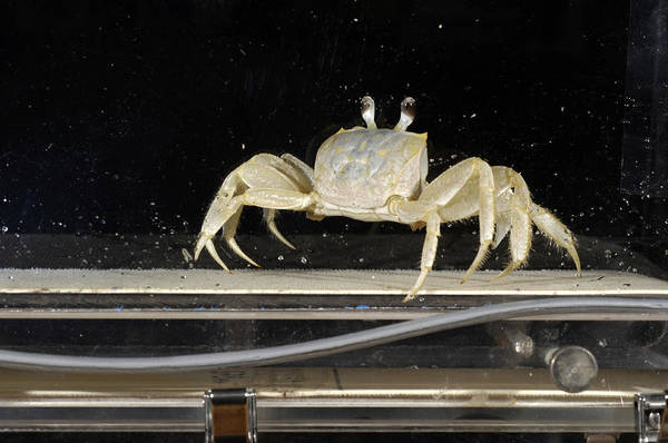 Biomimetics Wall Art - Photograph - Crab Locomotion Research by Volker Steger