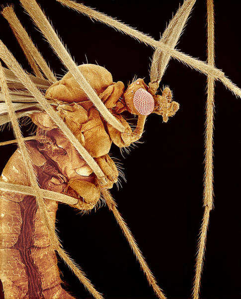 Daddy Long Legs Photograph - Crane Fly, Sem by Susumu Nishinaga