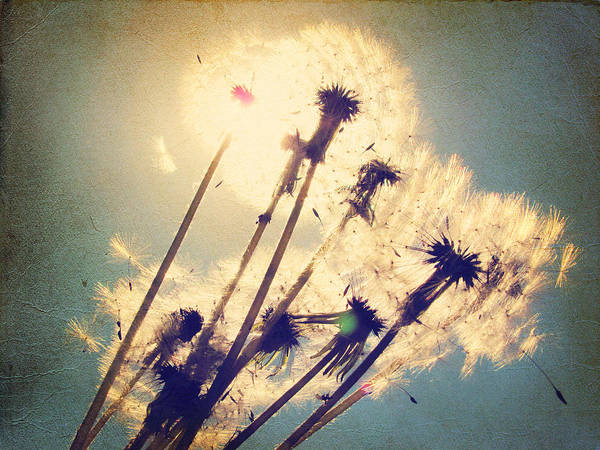 Wall Art - Photograph - Dandelions For You by Amy Tyler
