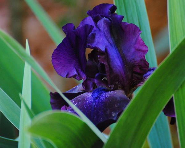 Photograph - Dark Purple Iris by Jai Johnson