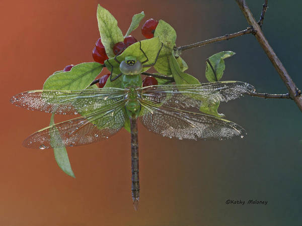 Darner On Berries Art Print
