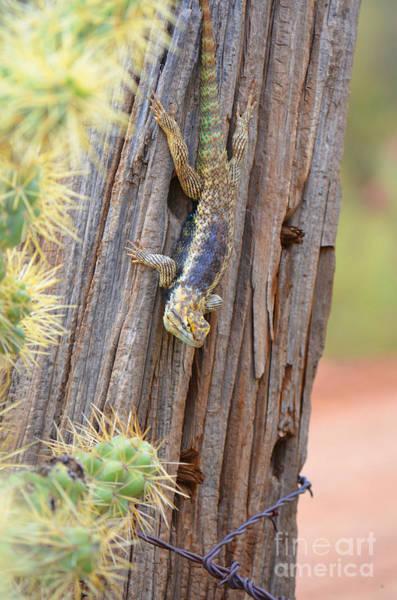 Photograph - Desert Spiney Lizard by Donna Greene