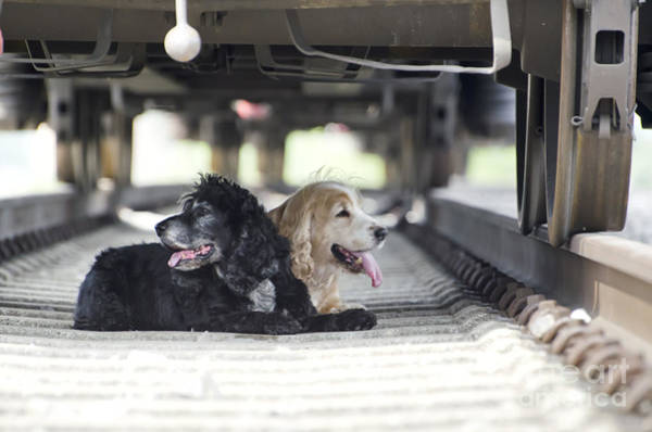 Cocker Spaniel Photograph - Dogs Lying Under A Train Wagon by Mats Silvan
