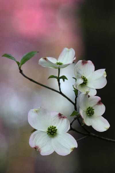 Photograph - Dogwood by Daniel Reed