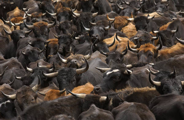 Photograph - Domestic Cattle Bos Taurus Being Herded by Pete Oxford