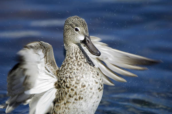 Photograph - Duck Drying Off  by Patrick M Lynch