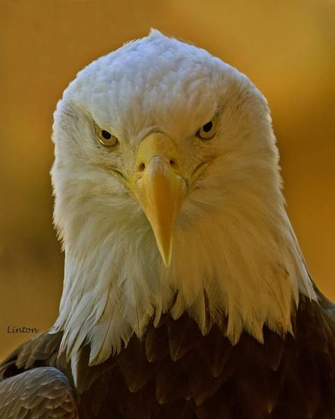 Photograph - Eagle Eyes  by Larry Linton