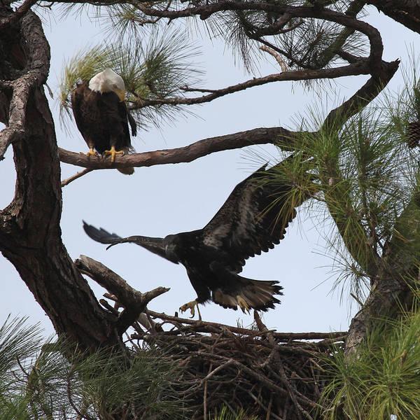Empty Nest Wall Art - Photograph - Eaglet First Flight by Joseph G Holland
