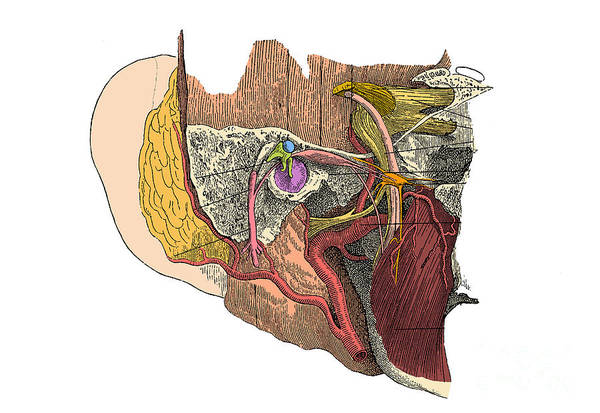 Photograph - Eardrum by Science Source