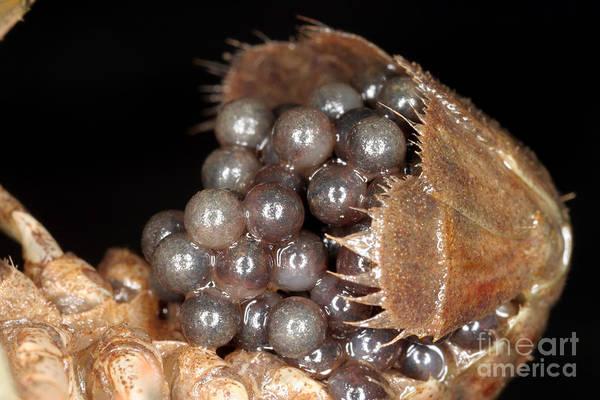 Photograph - Eggs On A Crayfish by Ted Kinsman