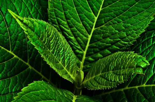 Photograph - Emerging Hydrangea Leaf by  Onyonet  Photo Studios