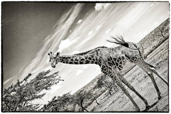 Art Print featuring the photograph Female Giraffe by Perla Copernik