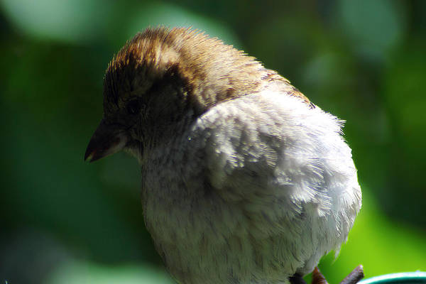 Photograph - Female House Sparrow by Scott Hovind