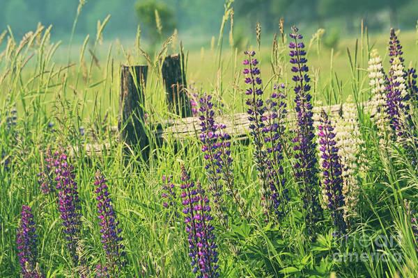 Wall Art - Photograph - Field Of Lupin Flowers  by Sandra Cunningham