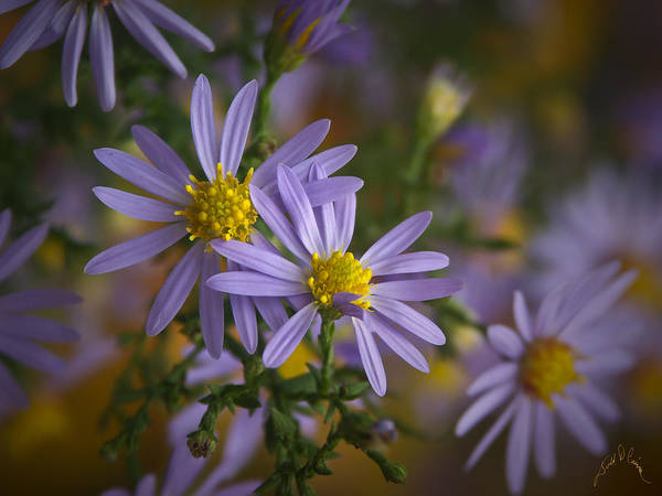 Photograph - Flowers On Blue Ridge Parkway by Williams-Cairns Photography LLC