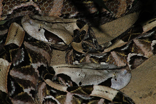 Photograph - Gaboon Viper by Scott Hovind