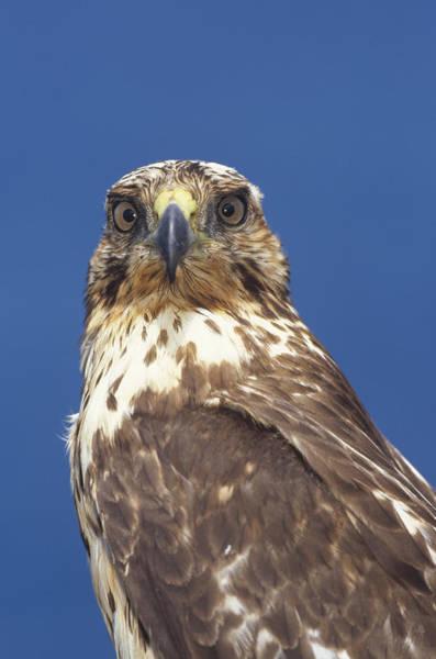 Photograph - Galapagos Hawk Buteo Galapagoensis by Tui De Roy