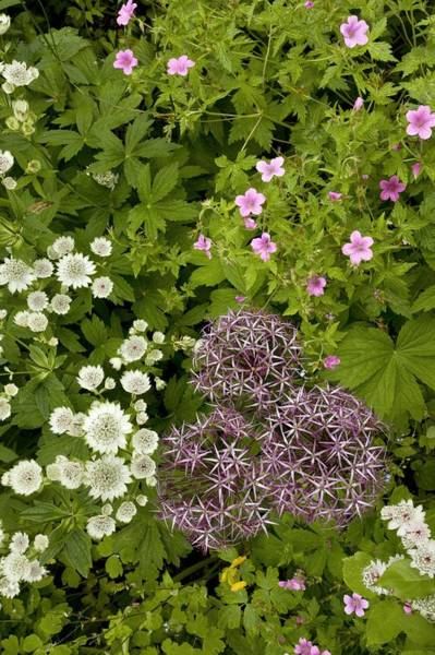 Astrantia Photograph - Garden Flowers by Bob Gibbons