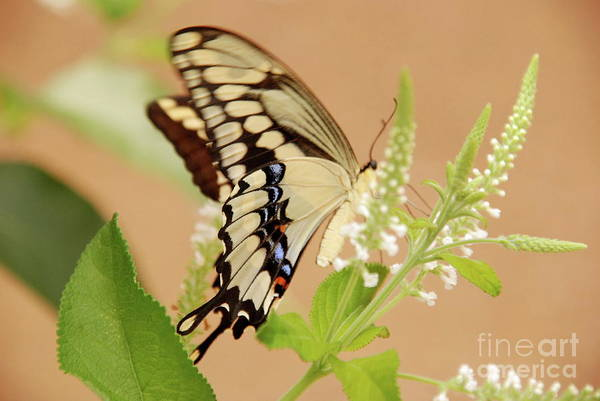 Photograph - Giant Swallowtail by Ken Williams