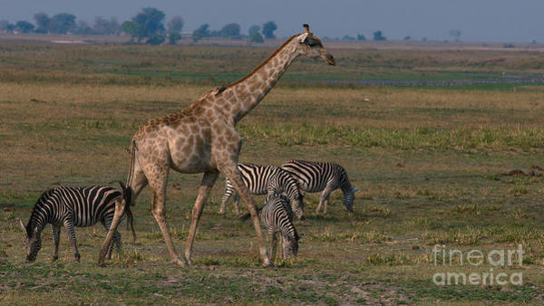Photograph - Giraffe And Zebra by Mareko Marciniak