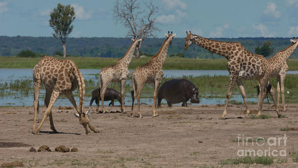 Photograph - Giraffes And Hippos by Mareko Marciniak