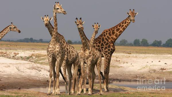 Photograph - Giraffes by Mareko Marciniak
