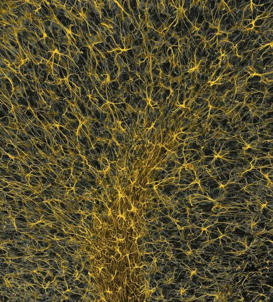 Wall Art - Photograph - Glial Cells, Confocal Light Micrograph by Thomas Deerinck, Ncmir