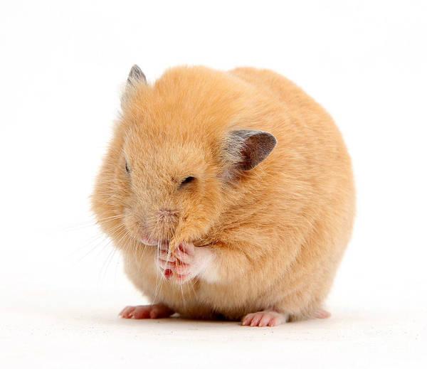 Golden Hamster Photograph - Golden Hamster by Mark Taylor