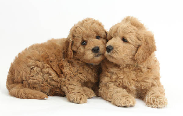Wall Art - Photograph - Goldendoodle Puppies by Mark Taylor