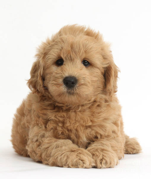 Wall Art - Photograph - Goldendoodle Puppy by Mark Taylor