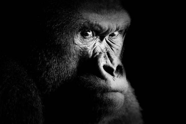 Photograph - Gorilla by Fabrizio Troiani