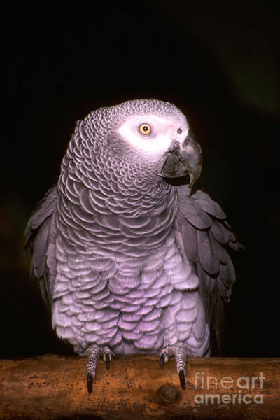Photograph - Gray Parrot by Paul W Faust -  Impressions of Light