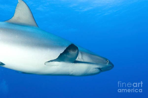 Photograph - Gray Reef Shark. Papua New Guinea by Steve Jones