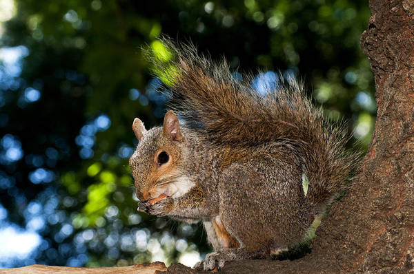 Photograph - Gray Squirrel by Fabrizio Troiani
