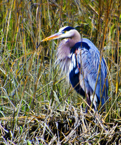 Photograph - Great Blue Heron by Bill Barber