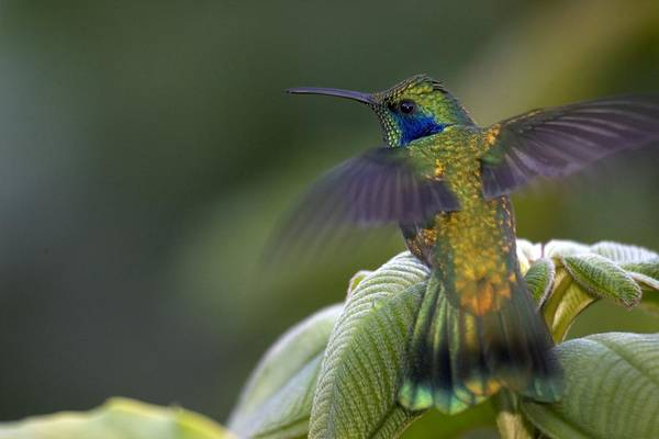 Colibri Photograph - Green  Violet-ear by Roy Toft