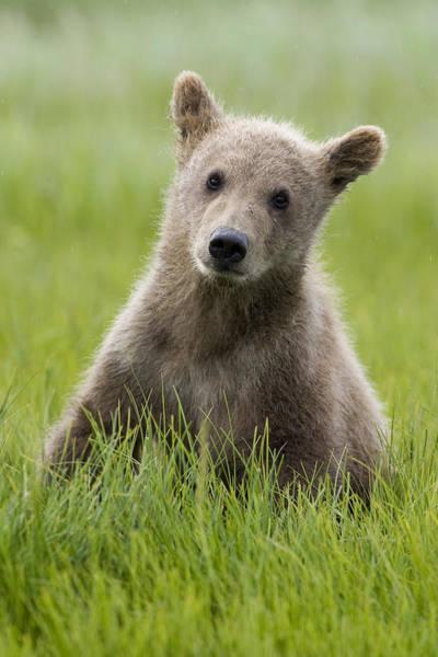 Photograph - Grizzly Bear Ursus Arctos Horribilis by Matthias Breiter