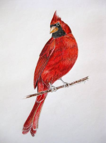 Red Cardinal Drawing - Happy Cardinal by Kathrine McMurray