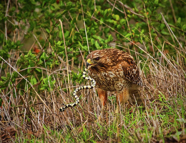 Photograph - Hawk And Snake by Beth Sargent