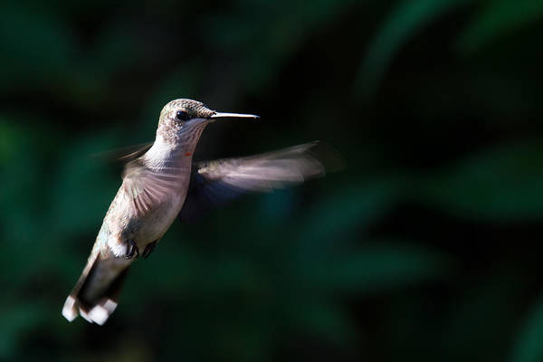Photograph - Hummingbird by Jason Smith