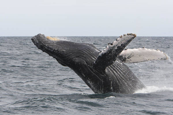 Photograph - Humpback Whale Breaching Baja by Suzi Eszterhas