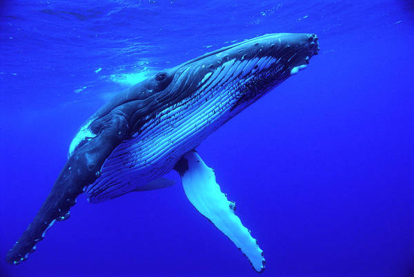 Photograph - Humpback Whale Megaptera Novaeangliae by Mike Parry