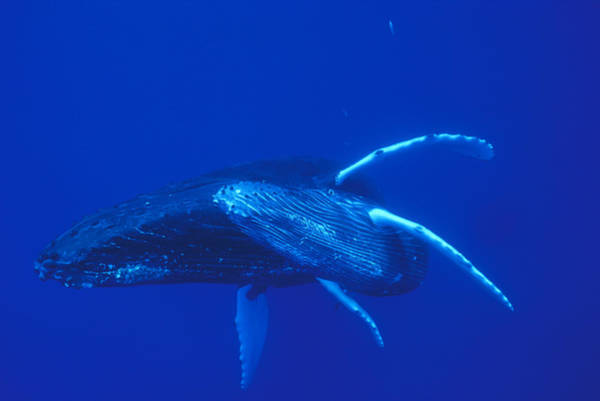 Photograph - Humpback Whale Mother And Calf Off Maui by Flip Nicklin