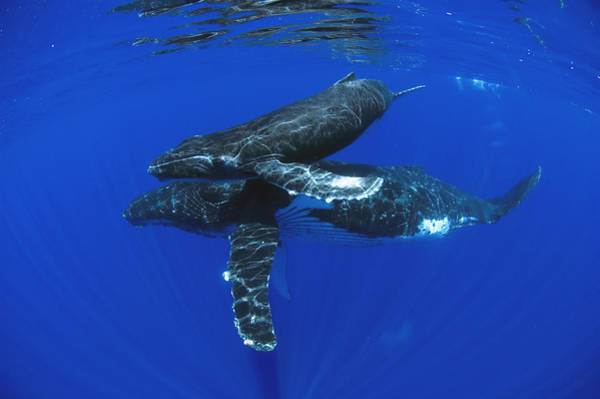 Photograph - Humpback Whale Mother And Yearling Maui by Flip Nicklin