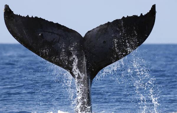 Photograph - Humpback Whale Tail Maui Hawaii by Flip Nicklin
