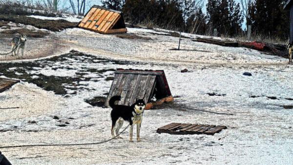 Photograph - Husky Camp by Cyryn Fyrcyd