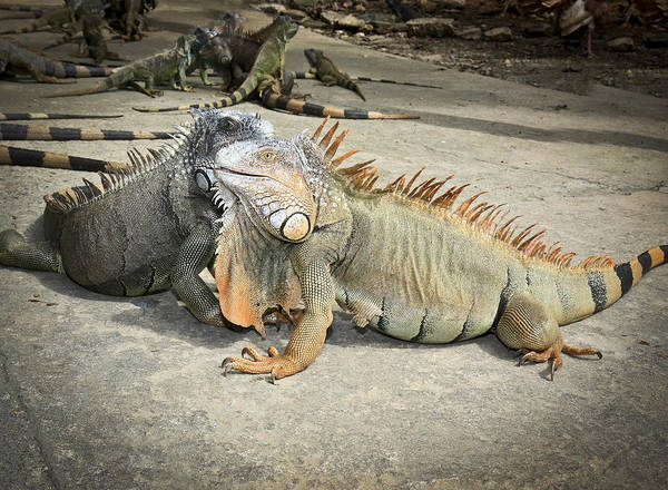 Photograph - Iguana Family by Nick Mares